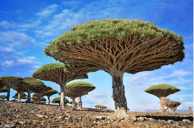 世界风情 龙血树