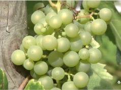 葡萄 葡萄酒