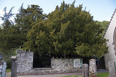 英国 千年老树