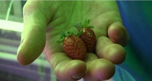 巴黎 公园 草莓