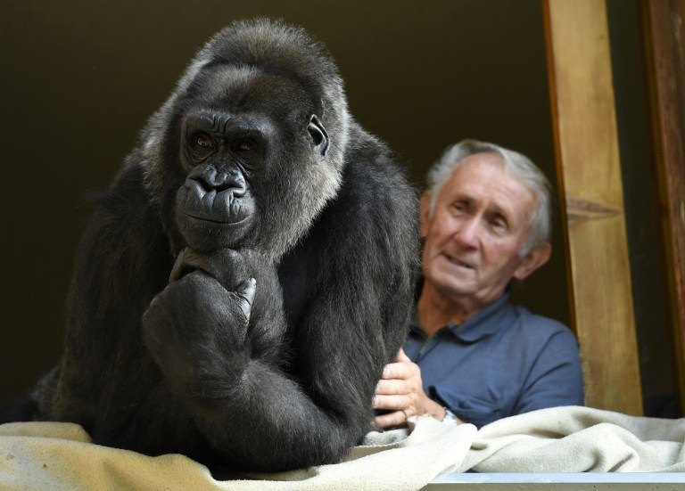 大猩猩如今已18岁了。(AFP PHOTO / PHILIPPE DESMAZES)