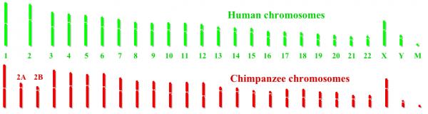 人与黑猩猩染色体的对比(注意:第2、4、9及12 对;以及Y染色体)(维基百科)