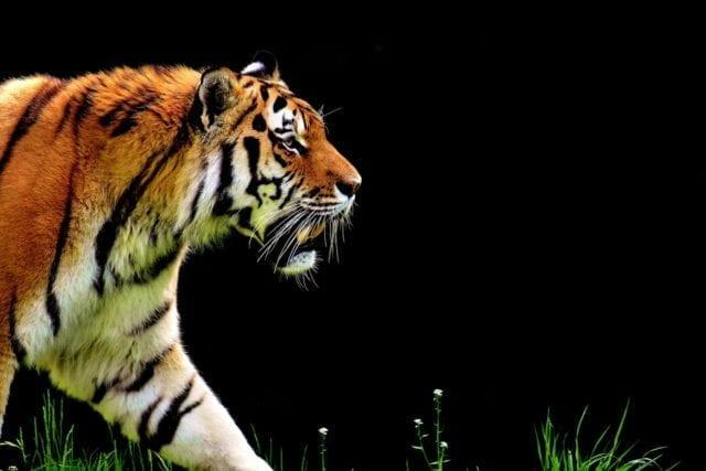 虎(pixabay)