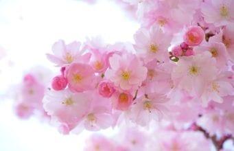 樱花(pixabay)