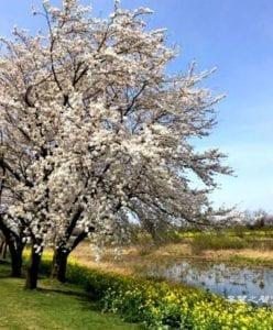 美如仙女的樱花(日本国花),再怎么沁人心脾,都不许采一朵 (图片:歐洲希望之聲)