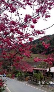 独行在樱花盛开的小径