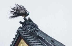 """日本茨城县著名景点雨引山乐法寺附近,近日有民众捕捉到一只罕见的五彩羽毛""""凤凰""""姿态优美的飞跃在屋檐上。(视频截图)"""