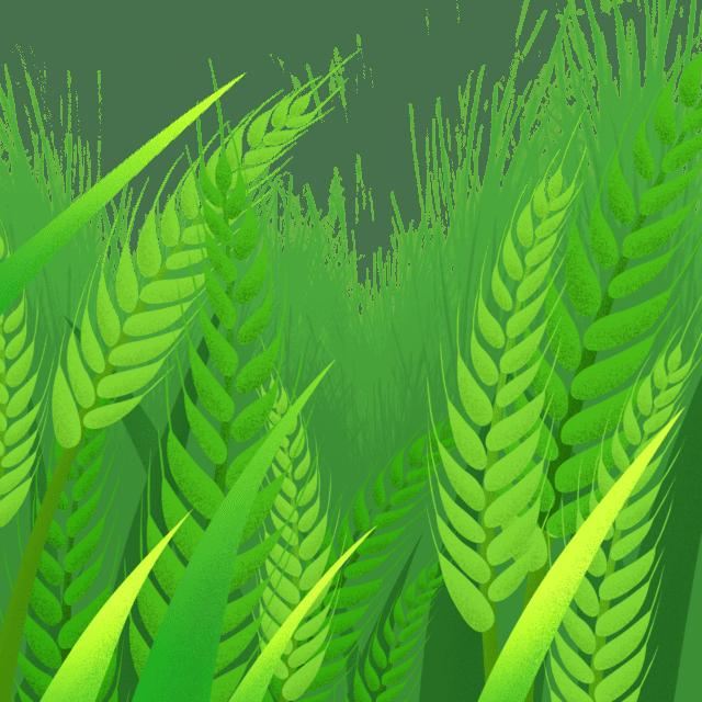 不熟的麦穗直刺刺地向上挺着(授权图片)