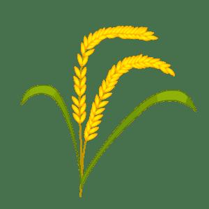 成熟的麦穗则低垂着头