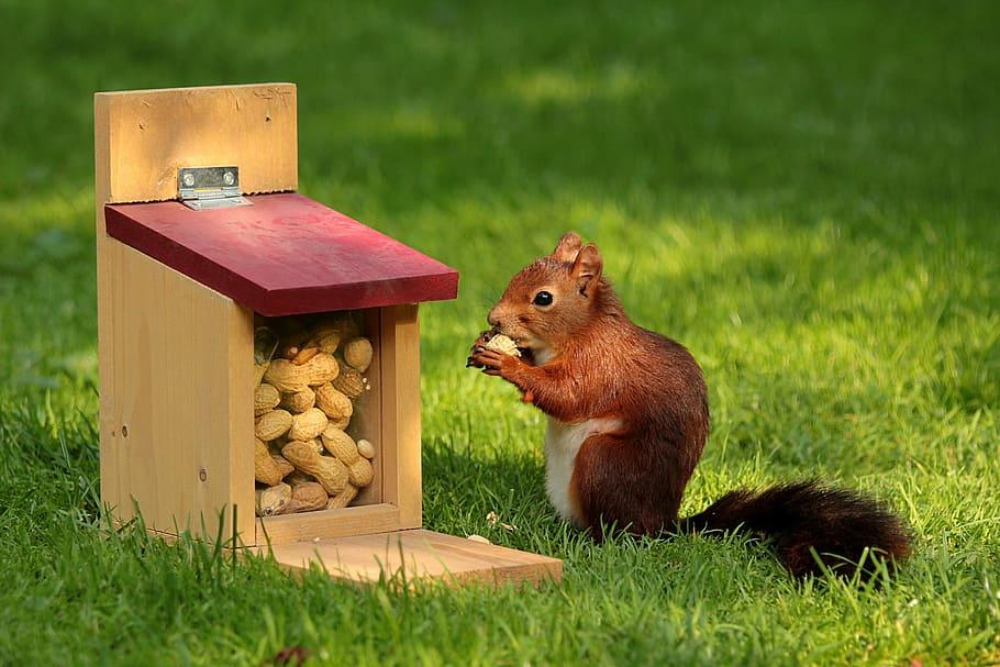吃花生的松鼠