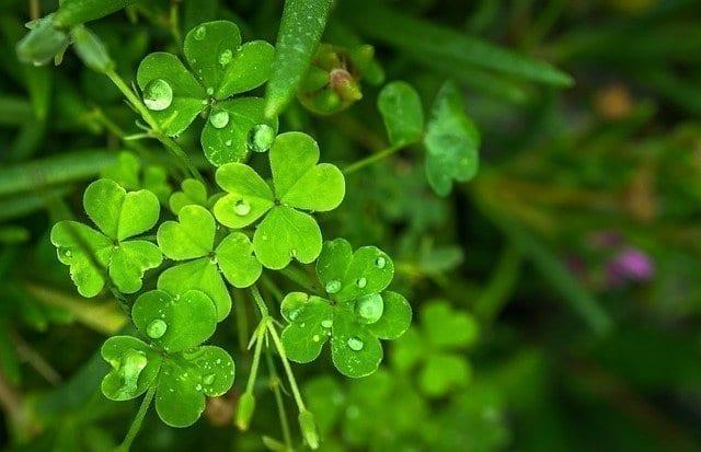 爱尔兰 国花 三叶草