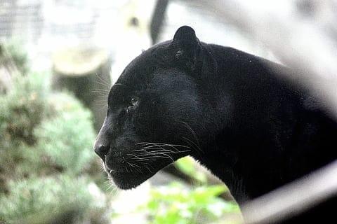 黑豹出没在意大利城市巴里(Bari),政府呼吁民众注意安全,避免到郊区活动。(图片来源:piqsels)