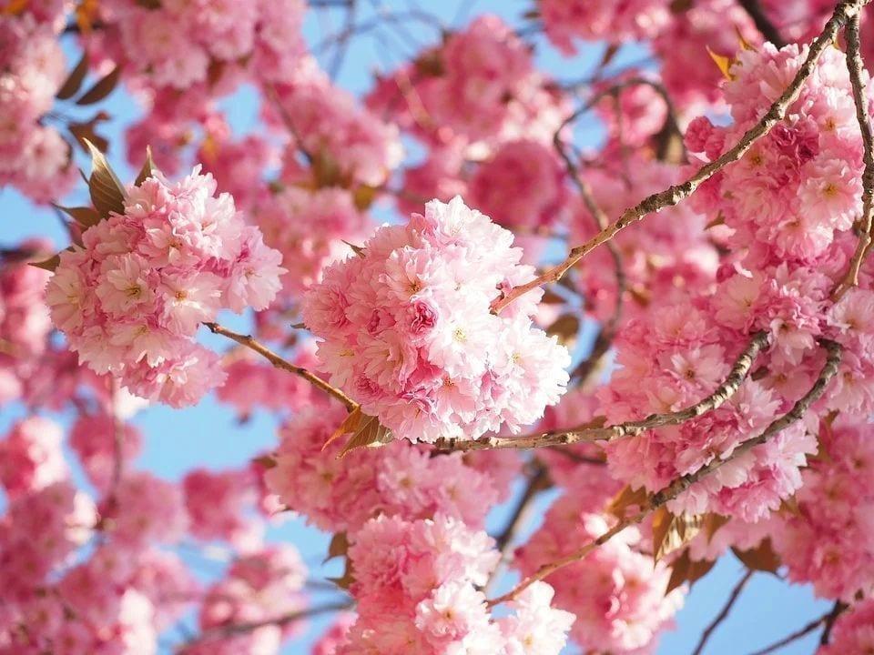每年的三、四月份,正是那里樱花盛开的季节。(图片来源:pixabay)