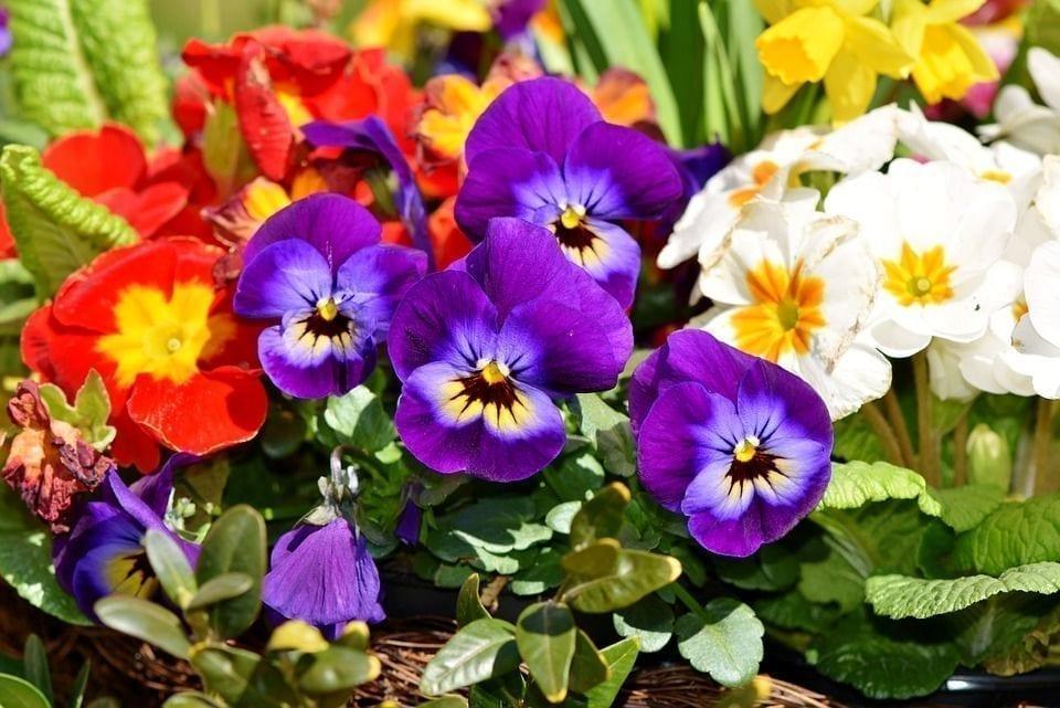 人行道的两侧是美丽的报春花。(图片来源:pixabay)