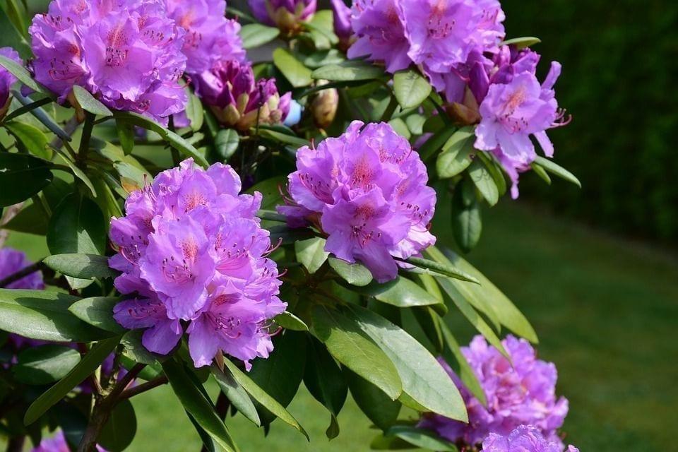 在英国观赏杜鹃花。(图片来源:pixabay)